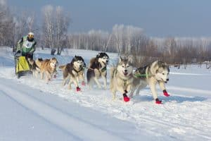 Dog Sledding A Beginners Guide