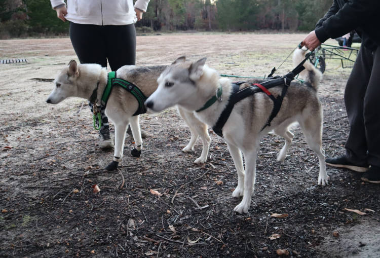 Dryland sled dogs