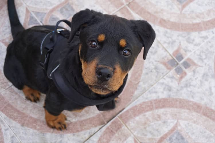 Best Tactical Dog harness On A Puppy