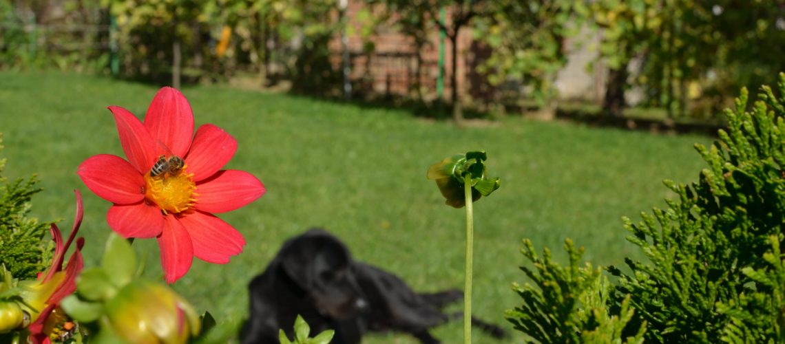 Red flower with a bee as a part of a beautiful garden and lovely black dog lying on a green grass in background