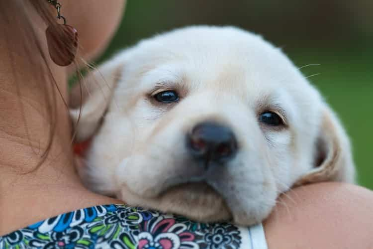 Cute labrador puppy dog enjoy the safety of the owner shoulders - woman hugging her new pet, close up
